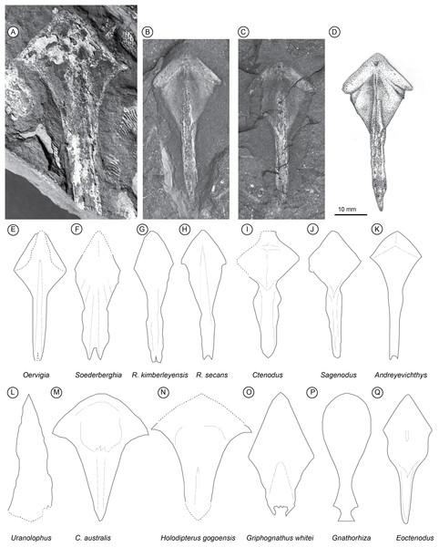 Palaeozoic Lungfish Parasphenoid Morphology.