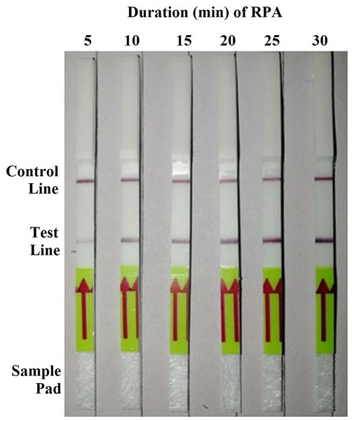 Detection of the genomic DNA (10 ng per µL) of Phytophthora hibernalis isolate 9099 using the recombinase polymerase amplification-lateral flow dipstick (RPA–LFD) assay with various amplification durations ranging from 5 to 30 min with 5-min interval.