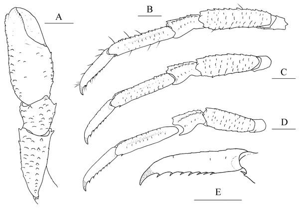 Munidopsis albatrossaePequegnat & Pequegnat, 1973, SRSIO1709000X, male.