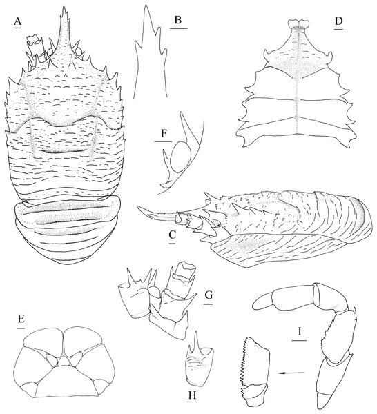 Munidopsis spinifrons sp. nov., SRSIO18100001, holotype.