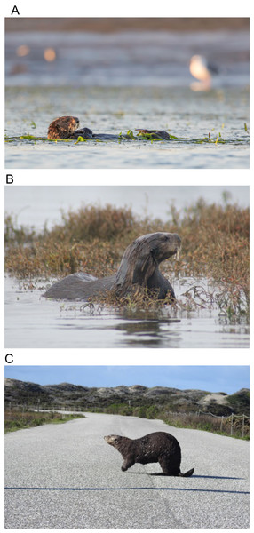 Sea otters in estuarine and coastal habitats in Elkhorn Slough.