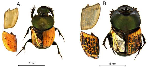 Habitus and elytra of Onthophagus coenobita (A) and O. medius (B).