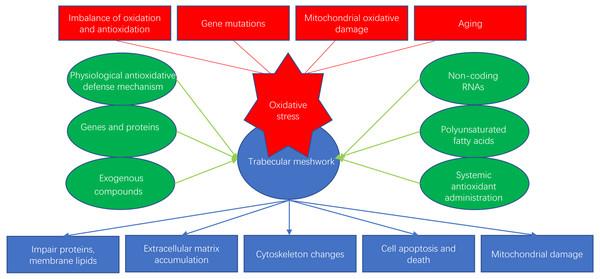 Oxidative stress and antioxidants of trabecular meshwork.