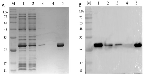 The analysis of PCV2 Cap protein immunoactivity after elution.