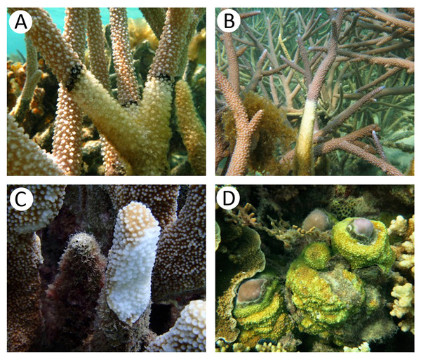 Appearance of coral specimens in healthy and infected stages; (A) black band disease, (B) white band disease, (C) white plaque disease, (D) yellow blotch disease.