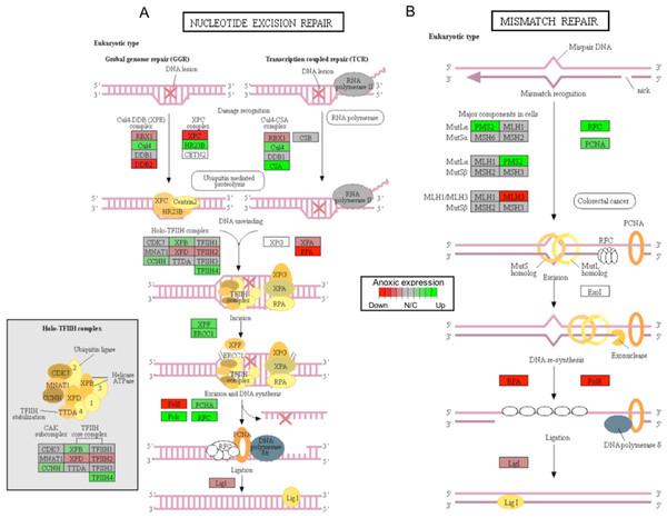 A visual presentation of anoxia-regulated DNA damage signaling and repair KEGG pathways.