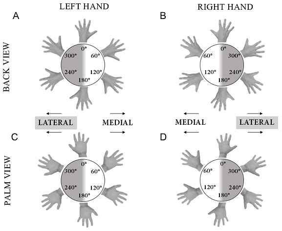 Illustration of hand stimuli used in the hand laterality judgement task.