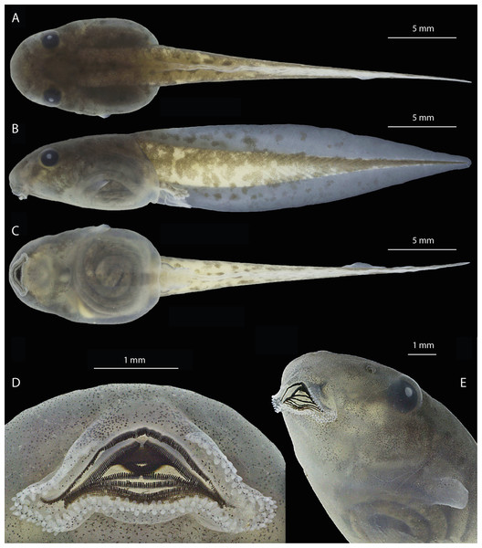 Preserved tadpole of Osteocephalus vilarsi at developmental Gosner stage 36 (INPA-H 40471).