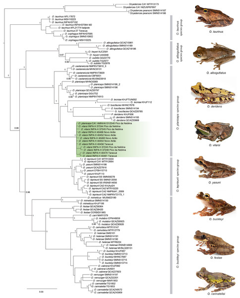 Phylogeny of the genus Osteocephalus based on five mitochondrial markers (12S, 16S, COI, CYTB, ND1; 4382 bp).