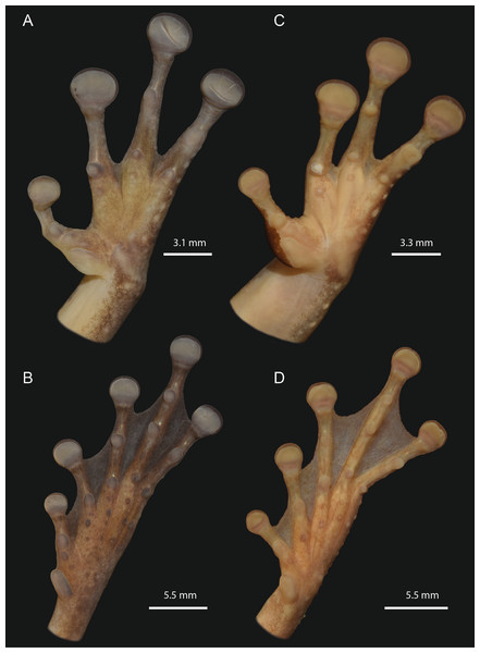 Detailed ventral views of the left hand and foot of Osteocephalus vilarsi.