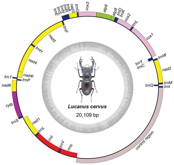Mitochondrial genome map of Lucanus cervus.