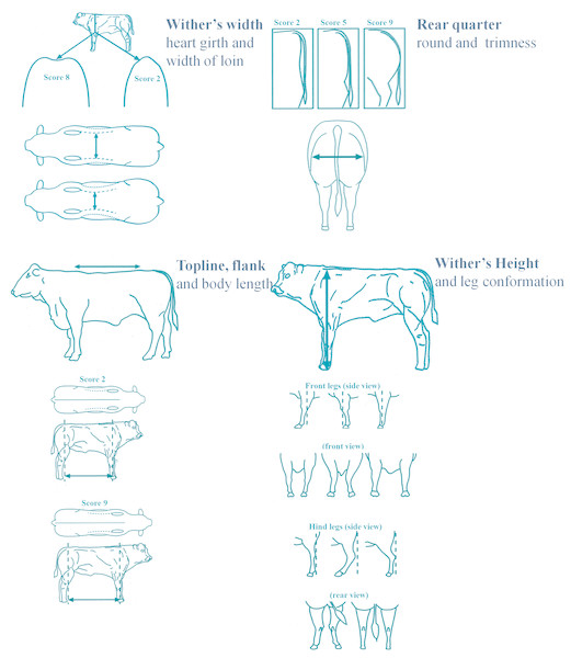 Actual 2D grid used for morphology scoring in beef cattle.