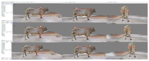 Body measure taken on the 3D-bull model. Sequence of the topline (A), wither's height (B) and rear trimness (C).