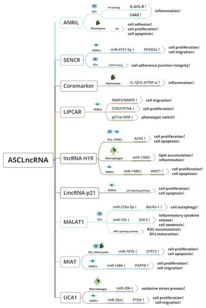 Functional mechanisms of Atherosclerosis-associated circulating lncRNA (ASClncRNA).