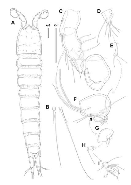 Line drawings of Quinquelaophonte enormis sp. nov.