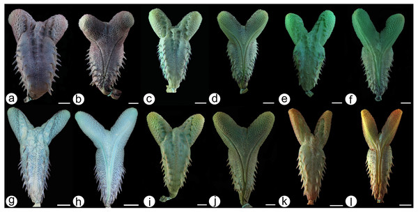 Hemipenial morphology.