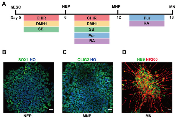 Differentiation of hESCs into MNs.