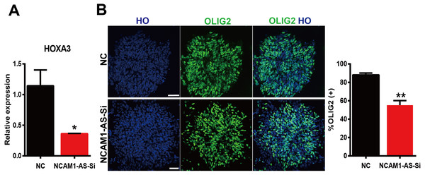 Silencing of lncRNA NCAM1-AS inhibit MNP differentiation.