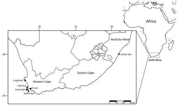 Sampling localities of M. depressa (Langebaan, Strand), M. macintoshi (Durban Bay), M. haemasoma (Table Bay) and M. elityeni (Buffels Bay and Kommetjie) from South Africa.