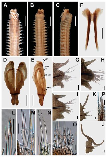 Marphysa sherlockae n. sp. Holotype BMNH 2020.40.