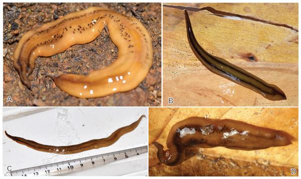 Amaga expatria from Martinique, living specimens.