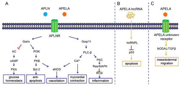 Intracellular signaling pathways and physiological functions of APLN and APELA.