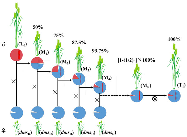 A program for wheat 2A translocation line construction with the D plants of dms.