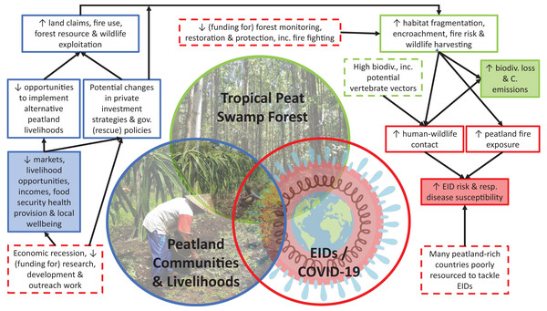 Summary illustration of key points and linkages regarding the potential for future EID emergence from tropical peatlands, and potential threats to tropical peatland conservation and local communities from the current COVID-19 pandemic.