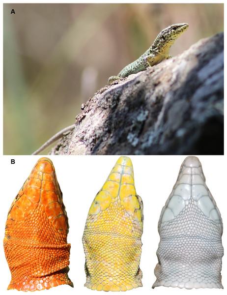 Study species, Podarcis erhardii.