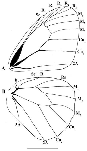 Scriptor sphenophorus. n. gen. and n. sp. male wing venation based on FLMNH-MGCL-1036467.