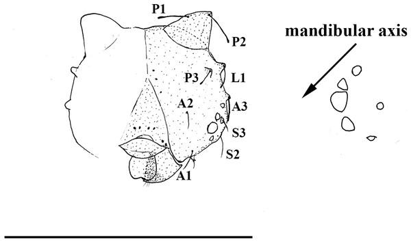 Scriptor sphenophorus. n. gen. and n. sp. head capsule and stemmata arrangement based on SN-20-28 (FLMNH-MGCL-1036473).
