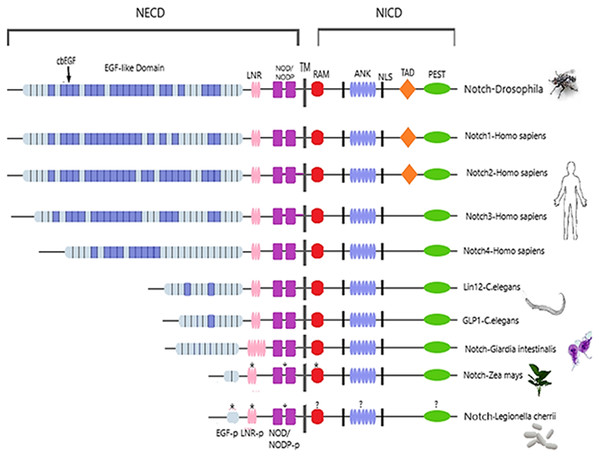 Architecture of Notch family receptors based on the Interpro Database (Mitchell et al., 2015) results for all identified kingdoms.