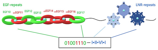 Structural visualization of the ENCD of a Notch family receptor and its digital format.