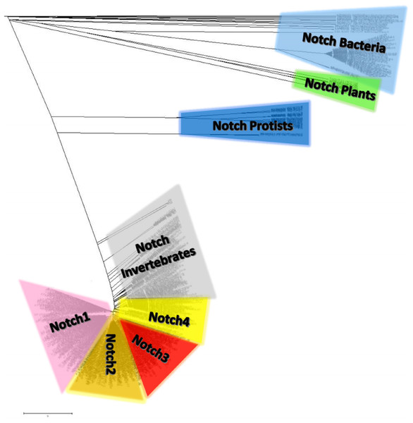 The unrooted phylogenetic tree of Notch family members.