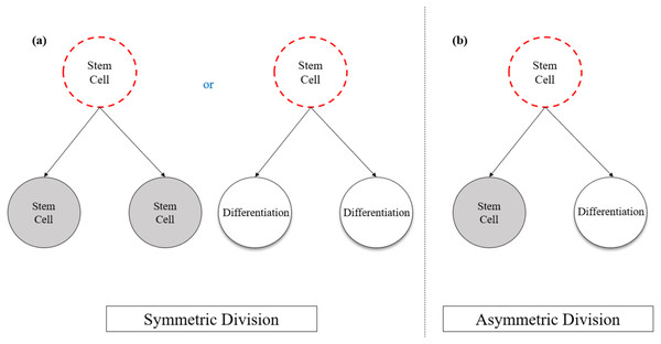Schematic representation of a stem cell division models in relation to self-renewal and the differentiation potential.