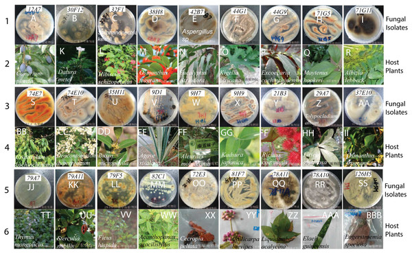 The fungal isolates and the corresponding Chinese medicinal host plants.