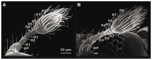 Female (A) and male (B) antennae of Scydosella musawasensis.