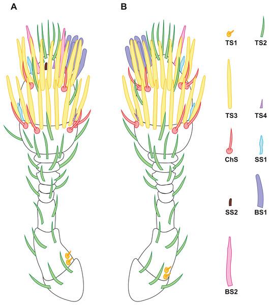 Distribution of antennal sensilla in Scydosella musawasensis.
