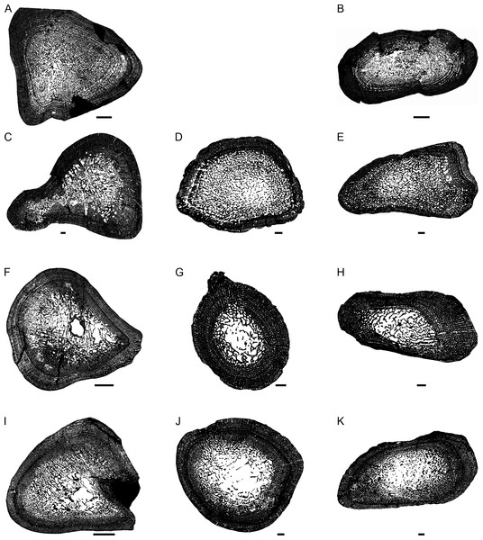 Transverse sections of the largest specimens of the South African Lystrosaurus species, used to assess the bone microanatomy.