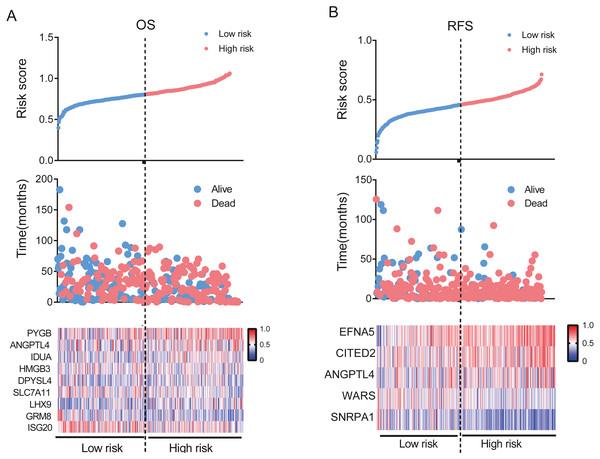 Establishment of gene signature for OS and RFS in the TCGA dataset.