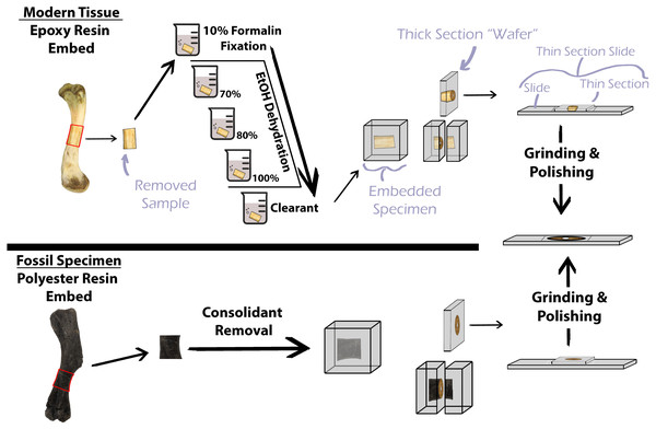 Simplified protocol for osteohistological protocol.