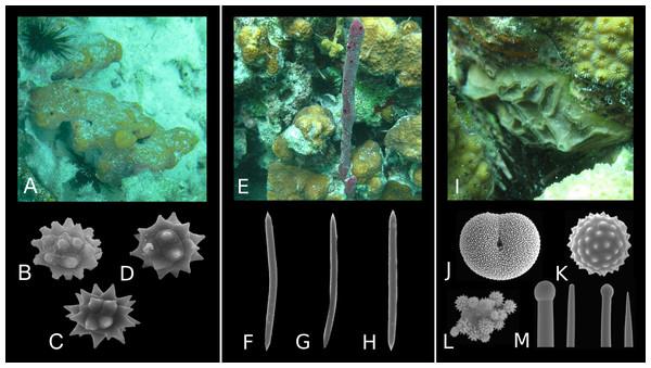 Diversity of spicule morphology and sets of selected sponge species.
