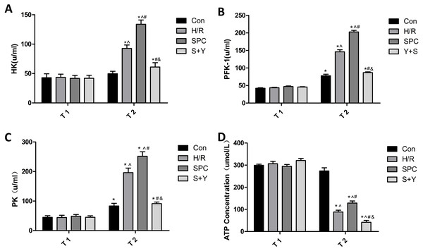 SPC improve glycolysis energy metabolism and key enzymes activity.
