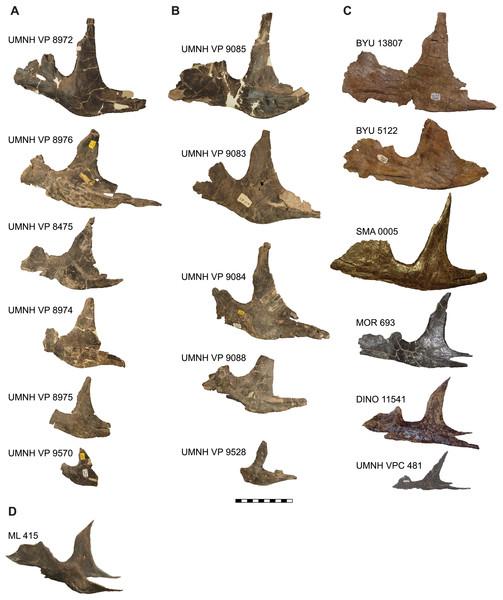 Comparison of the jugals of Allosaurus.