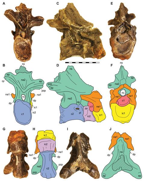 Atlantoaxial complex of Allosaurus jimmadseni.