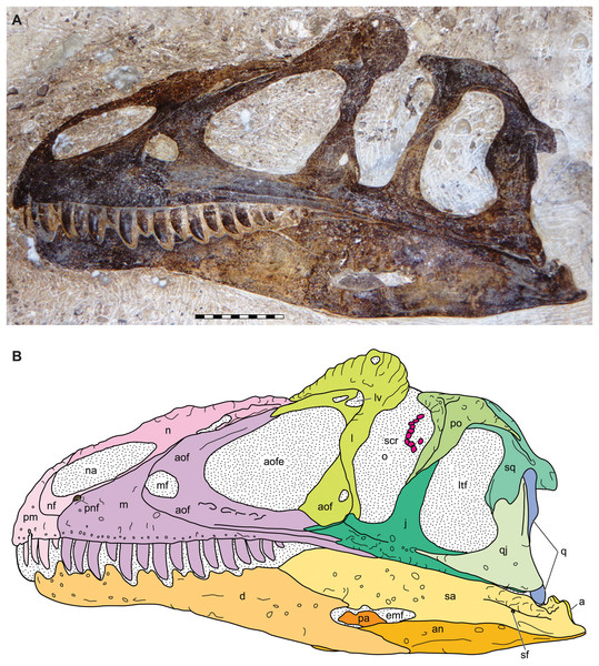 Lateral view of the skull of the holotype specimen of Allosaurus jimmadseni (DINO 11541).
