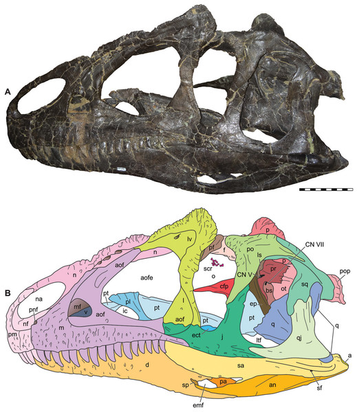 Lateral view of the skull of the referred specimen of Allosaurus jimmadseni (MOR 693).