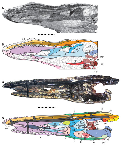 Ventral view of the skulls of Allosaurus jimmadseni (DINO 11541 and MOR 693).