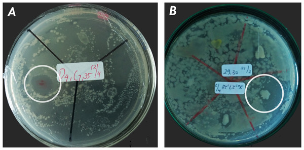 Active isolate symbiotic bacteria of nudibranchs against MRSA by using agar overlay method: (A) KJB-07 symbiotic Phyllidia coelestis; (B) NP31-01 symbiotic Phyllidia varicosa.