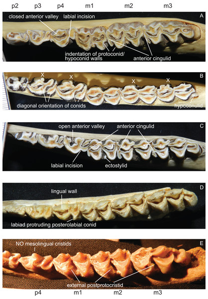 Details of the lower dentition.